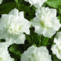 Петуния (Petunia) Conchita Double White