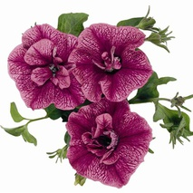 Петуния (Petunia) Double Surprise Purple Vein