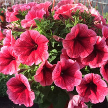 Петуния (Petunia) Potunia Plus Strawberry Ice